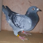 Uploaded image no.12 NWHU18L5176 Cheq cock.jpg
