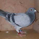 Uploaded image no.9 NWHU15S6170 Blue hen.jpg